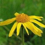 Heilpflanzen-Samen